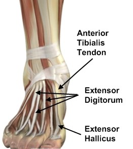 ankle-tendons-anterior