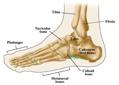 midfoot anatomy